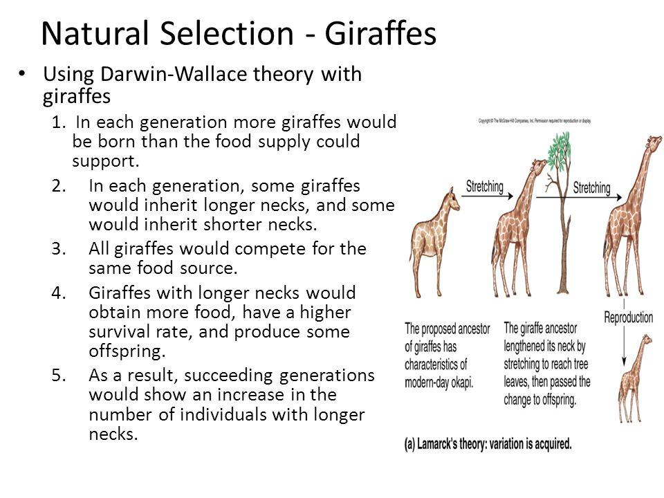 Descent With Modification Giraffes