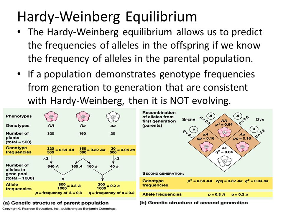 Hardy-Weinberg Equilibrium The Hardy-Weinberg equilibrium allows us to predict the frequencies of alleles in the offspring if we know the frequency of
