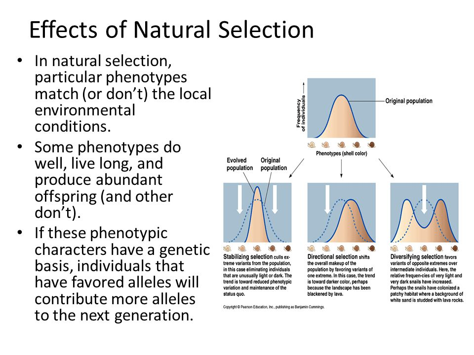 Effects of Natural Selection In natural selection, particular phenotypes match (or don't) the local environmental conditions. Some phenotypes do well,