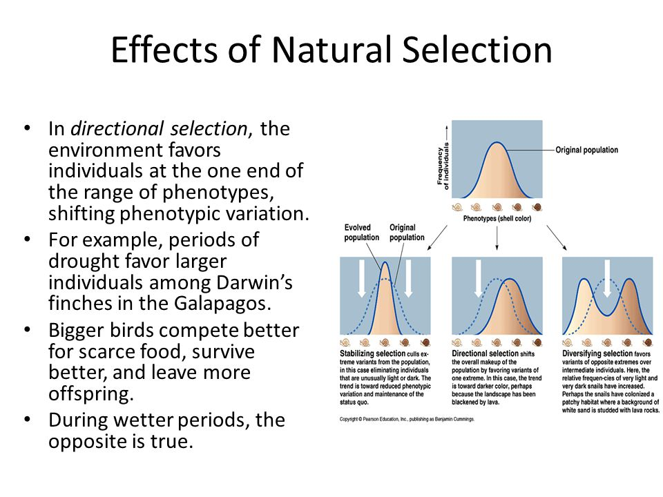 Effects of Natural Selection In directional selection, the environment favors individuals at the one end of the range of phenotypes, shifting phenotyp