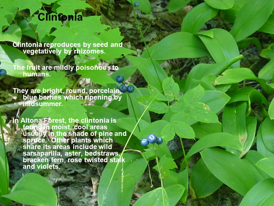 Clintonia Clintonia reproduces by seed and vegetatively by rhizomes. The fruit are mildly poisonous to humans. They are bright, round, porcelain, blue