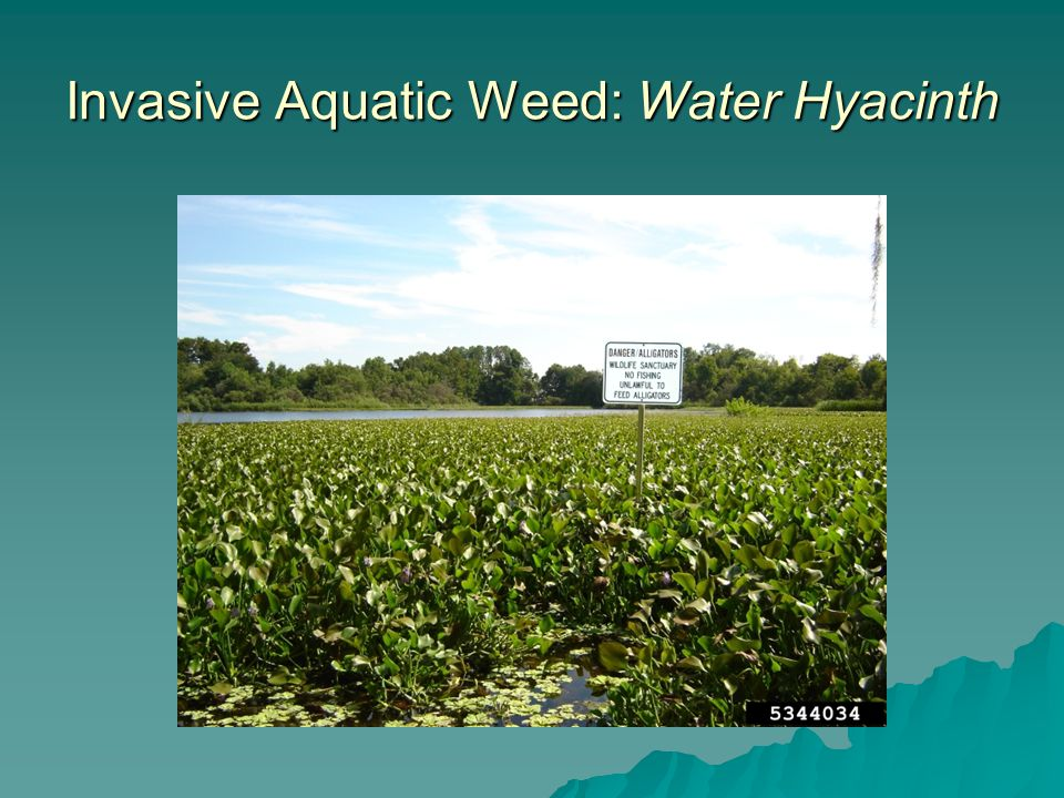 Invasive Aquatic Weed: Water Hyacinth