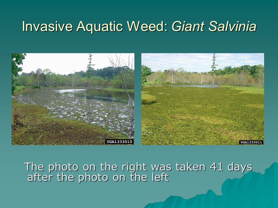 Invasive Aquatic Weed: Giant Salvinia The photo on the right was taken 41 days after the photo on the left The photo on the right was taken 41 days after the photo on the left