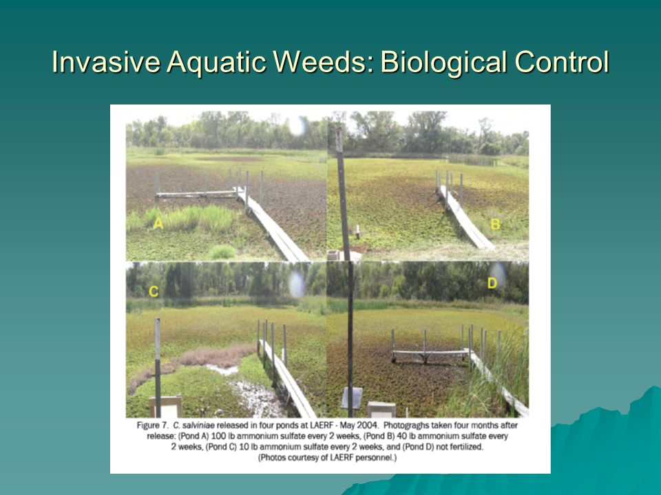 Invasive Aquatic Weeds: Biological Control