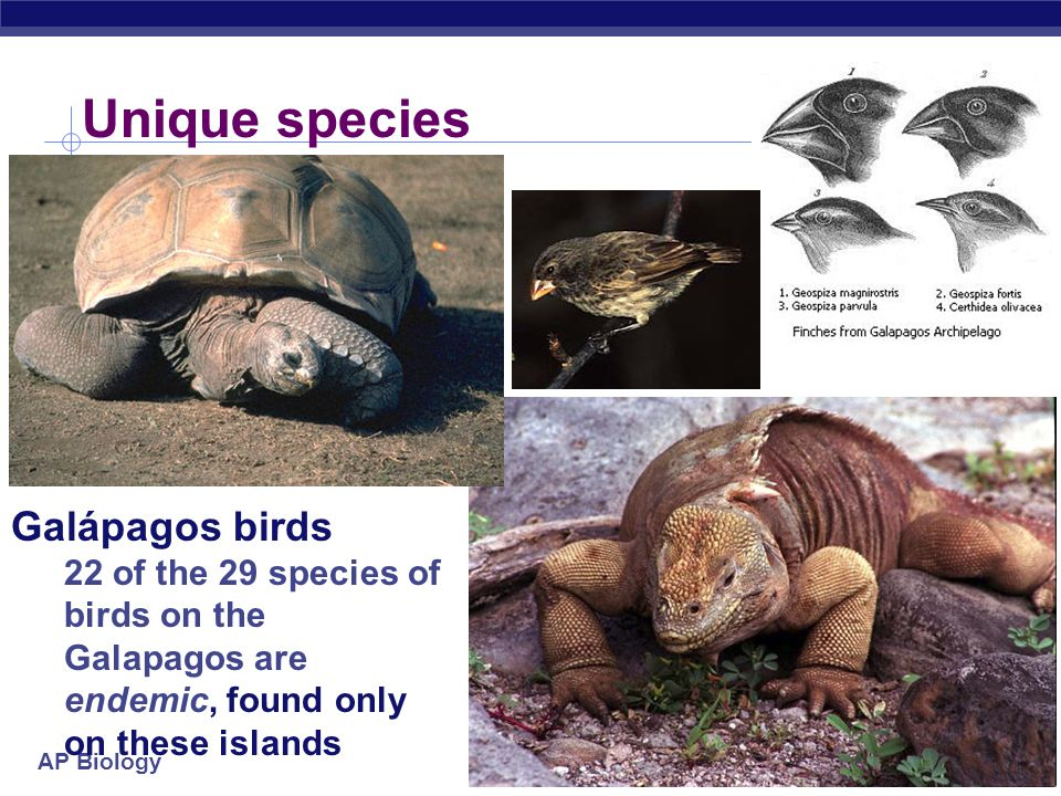 AP Biology Galapagos Of relatively recent volcanic origin most of animal species on the Galápagos live nowhere else in world, but they resemble species living on South American mainland.
