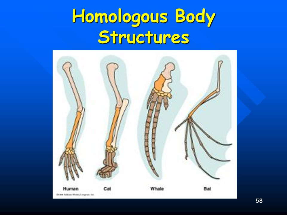 59 Homologous Body Structures Not All Serve Important Functions Not All Serve Important Functions –Vestigial Organs »Appendix In Man »Legs On Skinks