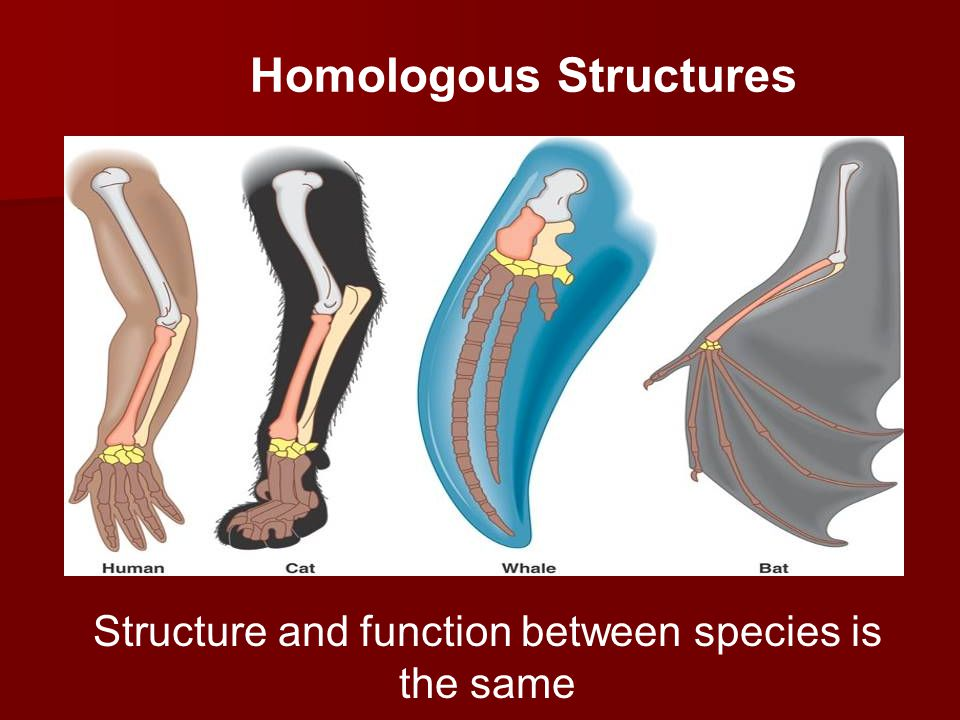 Evidence For Evolution: Anatomy Homologous Structures are structural features with a common evolutionary origin Homologous Structures are structural features with a common evolutionary origin –Ex: whale forelimb, crocodile forelimb, bird wing, human forelimb all look the same –Can you think of other examples.