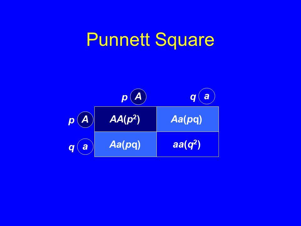 Punnett Square AA(p 2 )Aa(pq) aa(q 2 ) A p a q A p a q