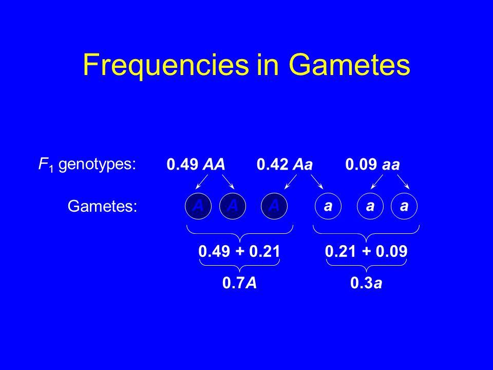 Frequencies in Gametes AAAaaa 0.49 AA0.42 Aa0.09 aa 0.49 + 0.210.21 + 0.09 0.7A0.3a F 1 genotypes: Gametes: