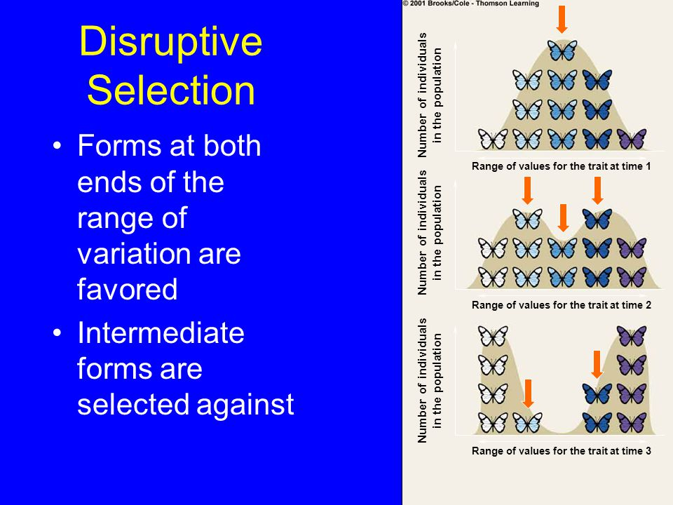 Disruptive Selection Forms at both ends of the range of variation are favored Intermediate forms are selected against Number of individuals in the population Range of values for the trait at time 1 Range of values for the trait at time 2 Range of values for the trait at time 3 Number of individuals in the population Number of individuals in the population