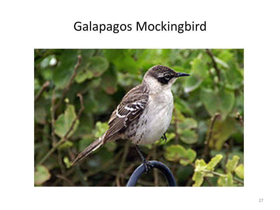 Galapagos Mockingbird 27