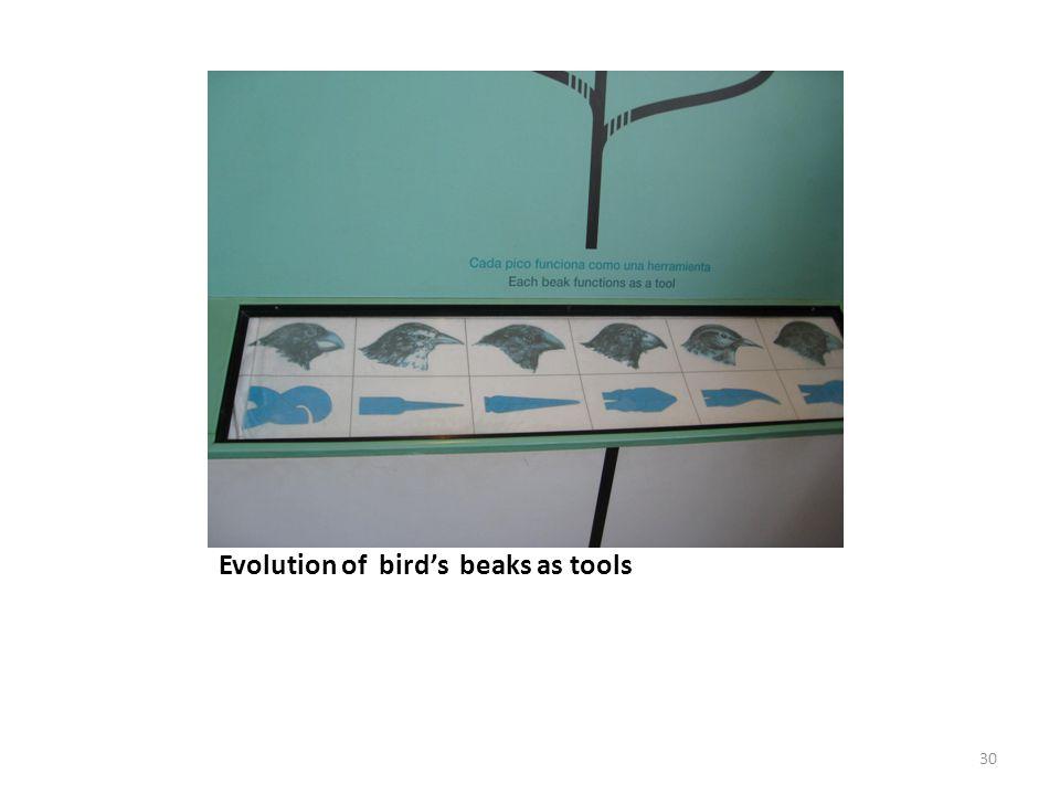Evolution of bird's beaks as tools 30