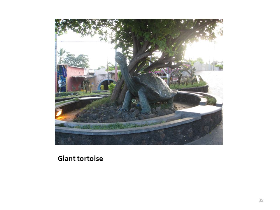 Giant tortoise 35