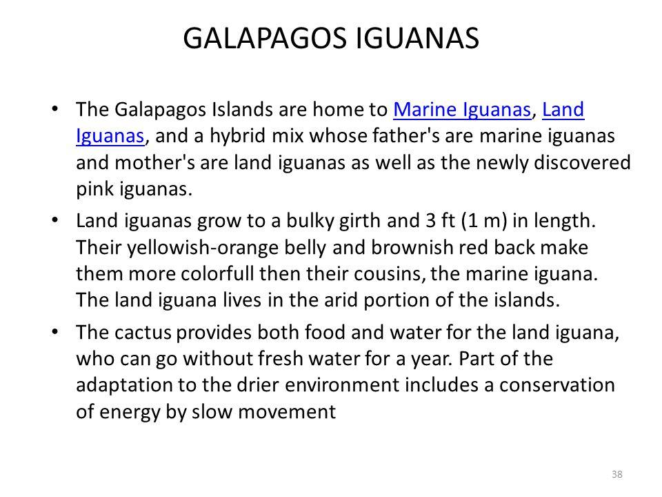GALAPAGOS IGUANAS The Galapagos Islands are home to Marine Iguanas, Land Iguanas, and a hybrid mix whose father's are marine iguanas and mother's are