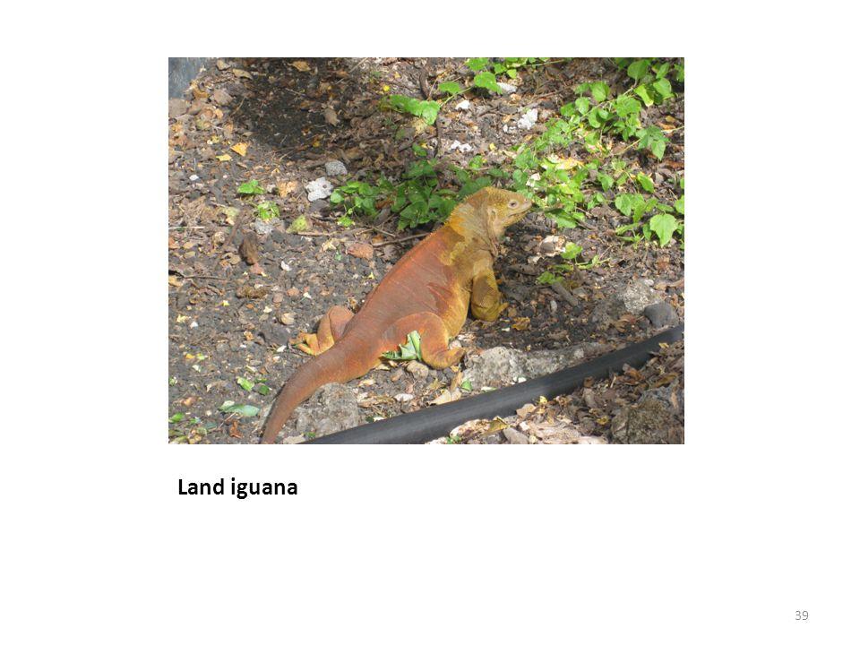 Land iguana 39