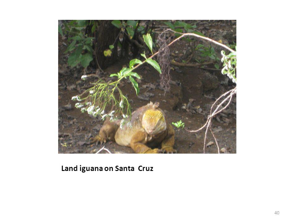 Land iguana on Santa Cruz 40