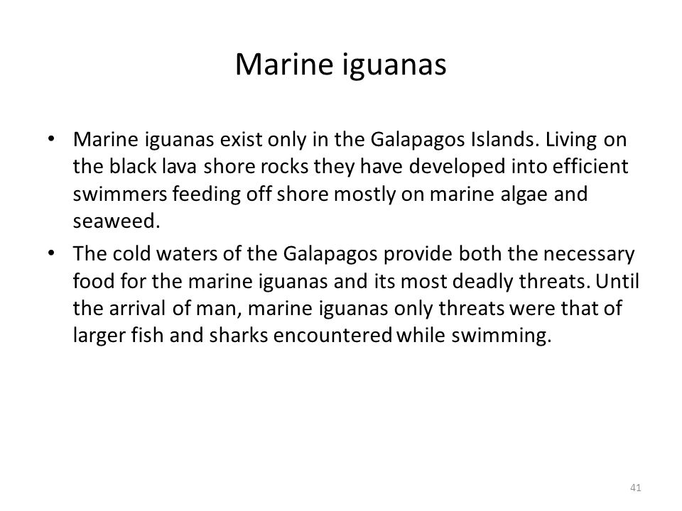 Marine iguanas Marine iguanas exist only in the Galapagos Islands. Living on the black lava shore rocks they have developed into efficient swimmers fe