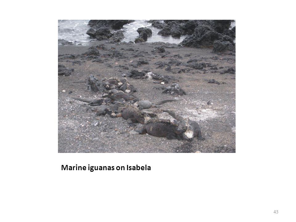 Marine iguanas on Isabela 43