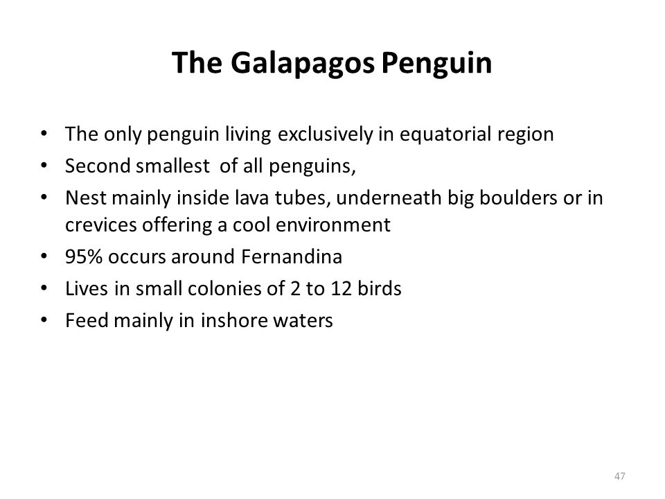 The Galapagos Penguin The only penguin living exclusively in equatorial region Second smallest of all penguins, Nest mainly inside lava tubes, underne