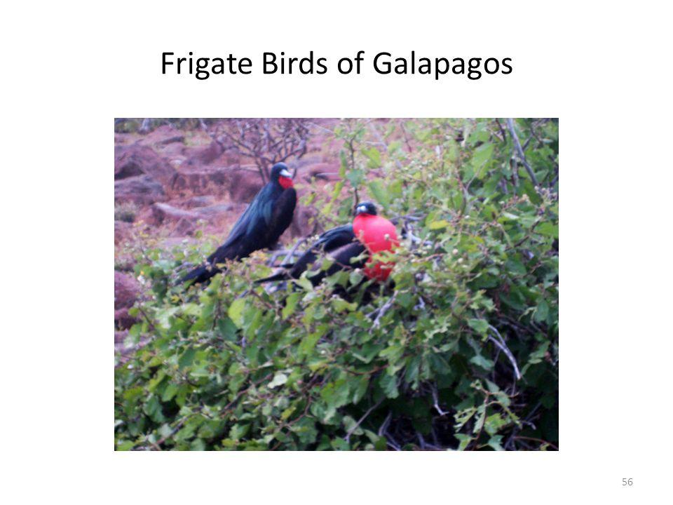 Frigate Birds of Galapagos 56