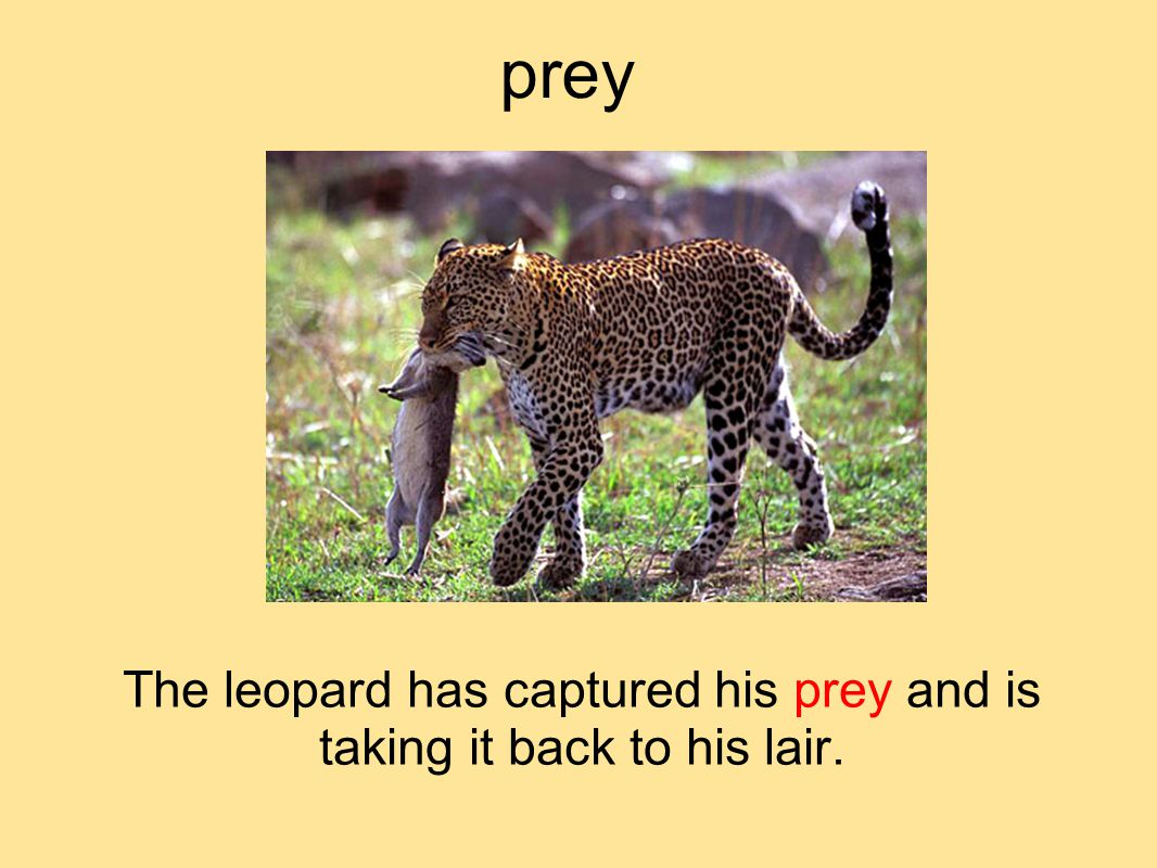 prey The leopard has captured his prey and is taking it back to his lair.