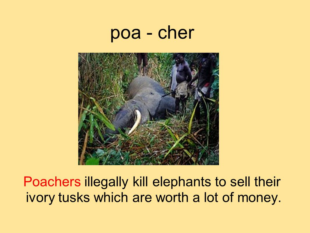 poa - cher Poachers illegally kill elephants to sell their ivory tusks which are worth a lot of money.