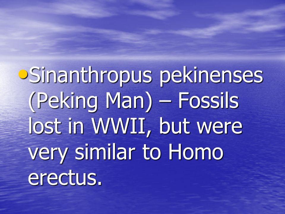 Sinanthropus pekinenses (Peking Man) – Fossils lost in WWII, but were very similar to Homo erectus.