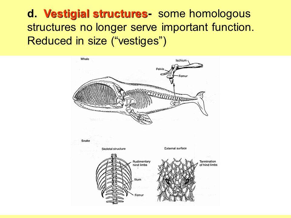 """Vestigial structures d. Vestigial structures- some homologous structures no longer serve important function. Reduced in size (""""vestiges"""") Forelimbs of"""