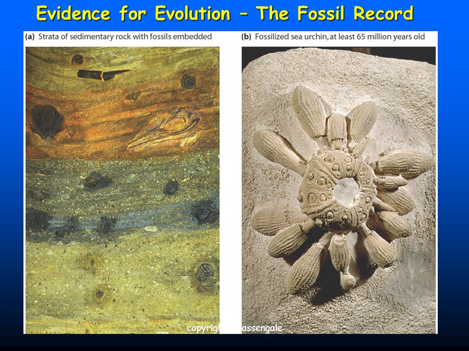 14 Evidence for Evolution – The Fossil Record copyright cmassengale