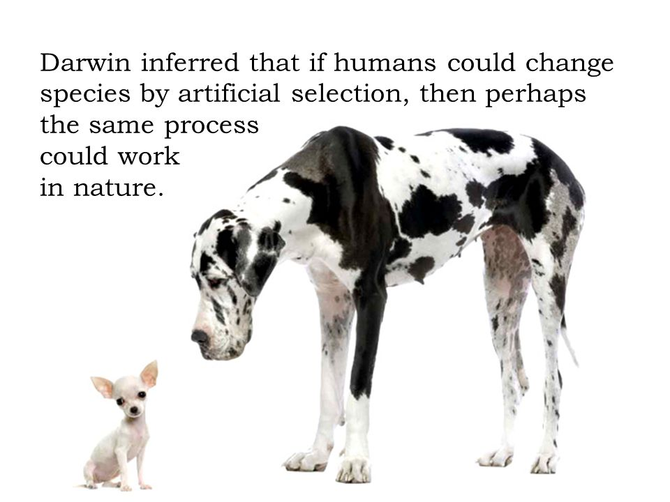 Darwin inferred that if humans could change species by artificial selection, then perhaps the same process could work in nature.
