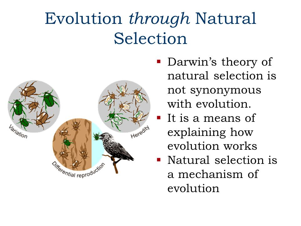 Evolution through Natural Selection  Darwin's theory of natural selection is not synonymous with evolution.