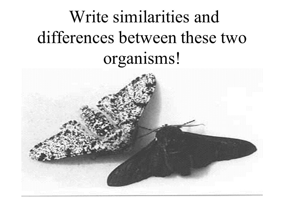 The Peppered Moth Study An Example of Natural Selection!