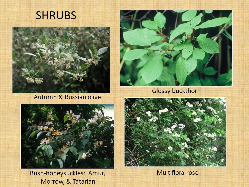 SHRUBS Glossy buckthorn Multiflora rose Autumn & Russian olive Bush-honeysuckles : Amur, Morrow, & Tatarian