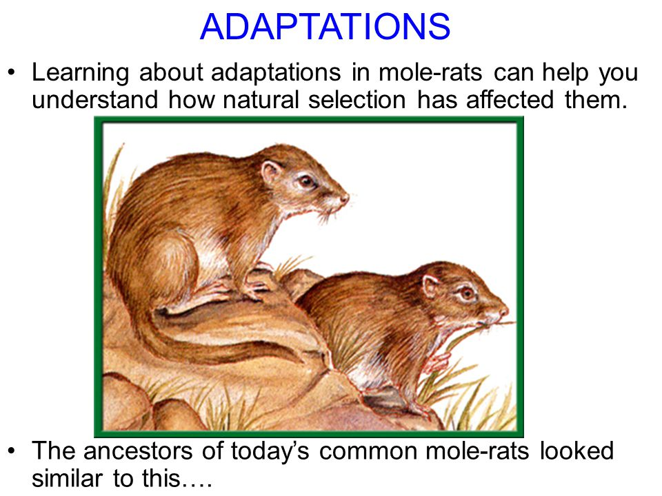 Section 15.1 Summary – pages 393-403 The ancestors of today's common mole-rats looked similar to this….