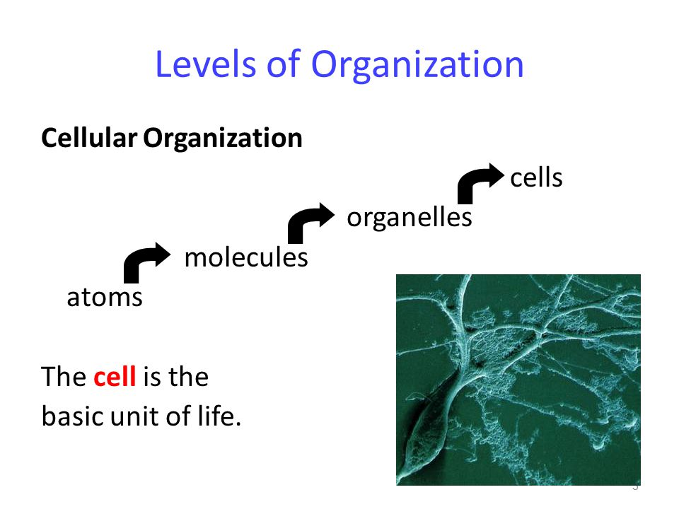 Levels of Organization Cellular Organization cells organelles molecules atoms The cell is the basic unit of life.
