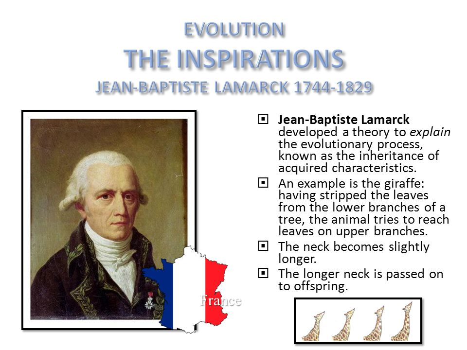  Jean-Baptiste Lamarck developed a theory to explain the evolutionary process, known as the inheritance of acquired characteristics.  An example is