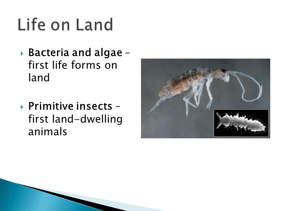  Bacteria and algae – first life forms on land  Primitive insects – first land-dwelling animals