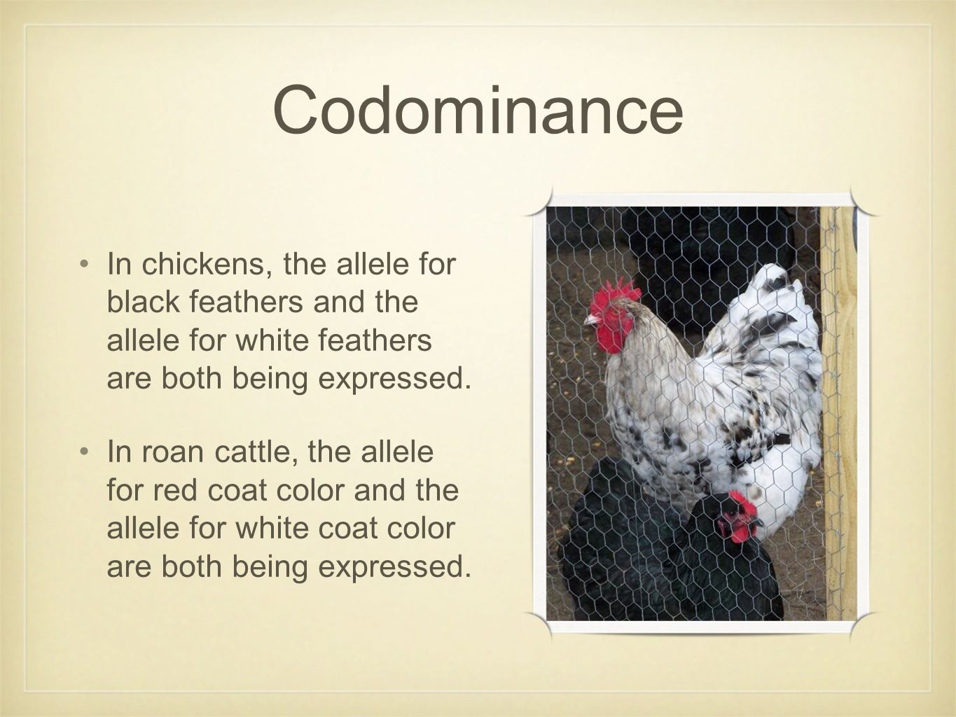 Codominance In chickens, the allele for black feathers and the allele for white feathers are both being expressed.