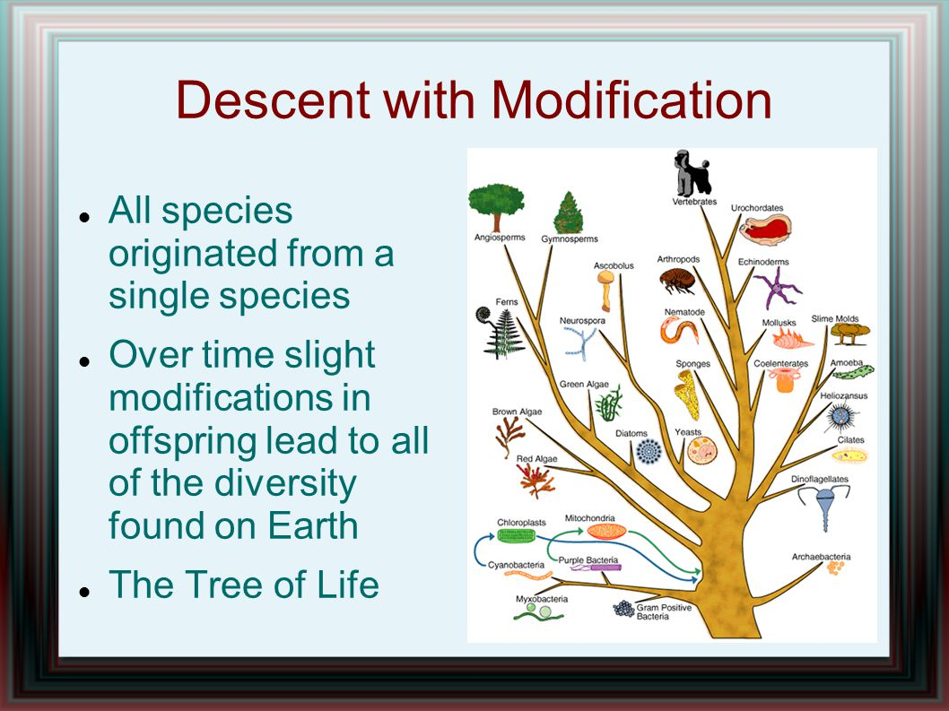 Descent with Modification All species originated from a single species Over time slight modifications in offspring lead to all of the diversity found