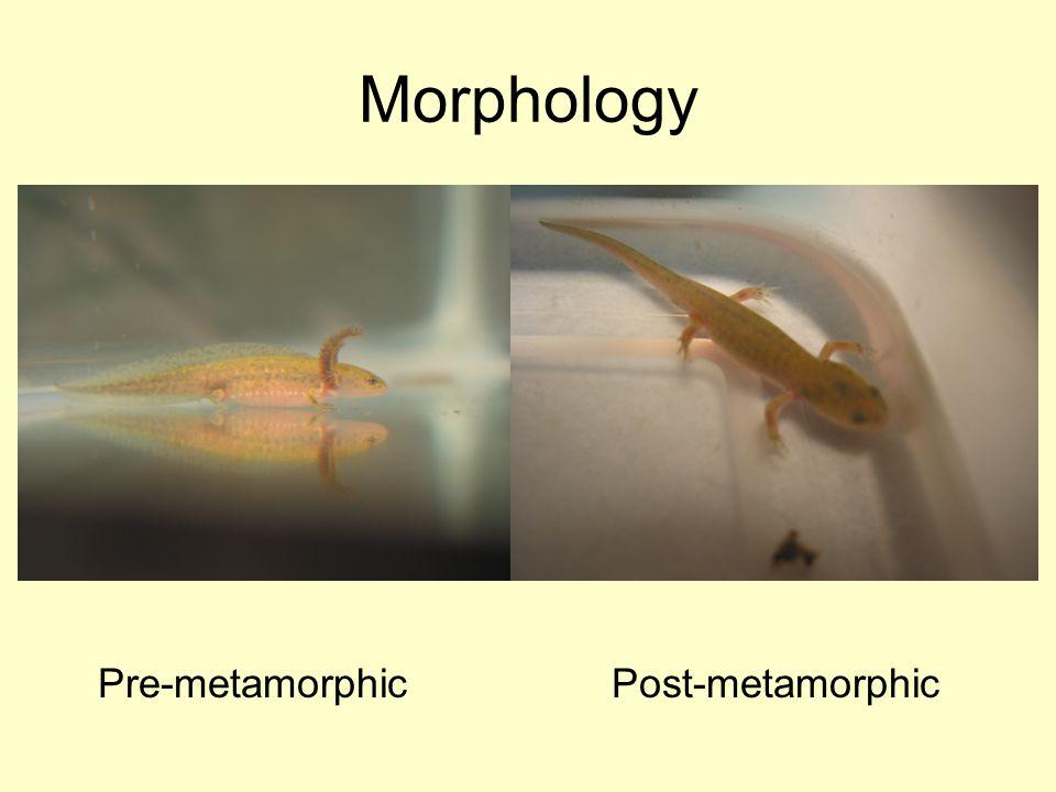 Morphology Pre-metamorphic Post-metamorphic