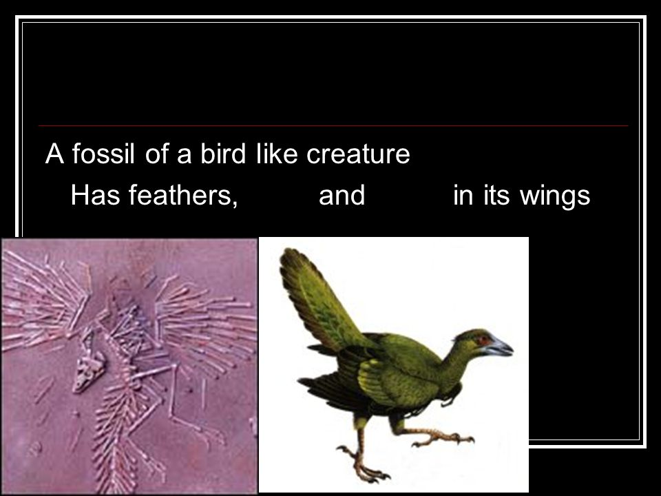 Archaeopterix A fossil of a bird like creature Has feathers, teeth and claws in its wings