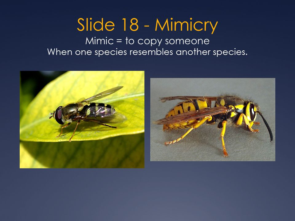 Slide 18 - Mimicry Mimic = to copy someone When one species resembles another species.