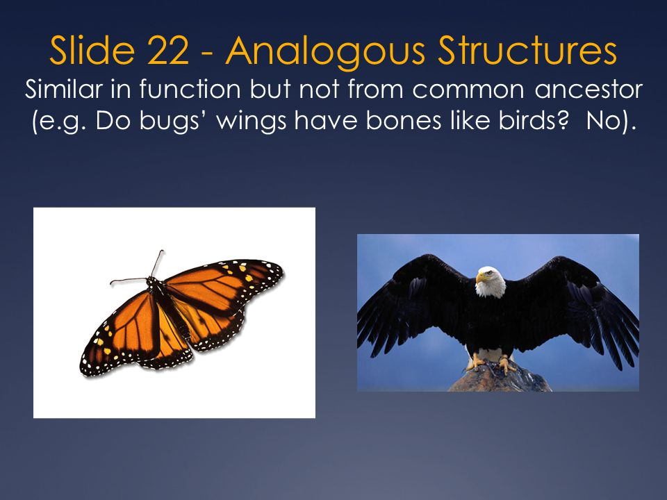 Slide 22 - Analogous Structures Similar in function but not from common ancestor (e.g.