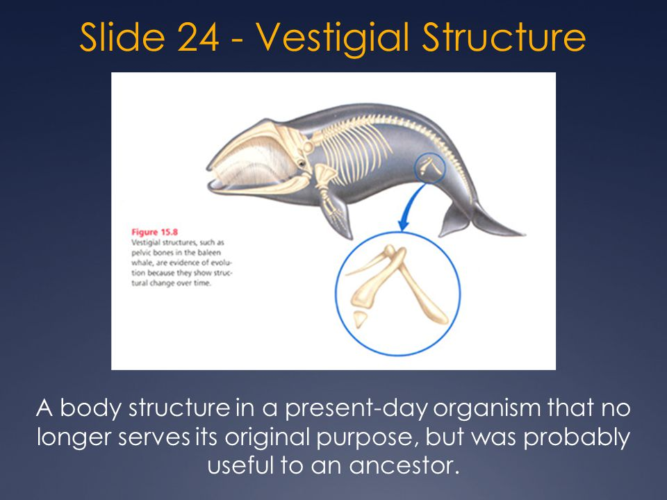 Slide 24 - Vestigial Structure A body structure in a present-day organism that no longer serves its original purpose, but was probably useful to an ancestor.