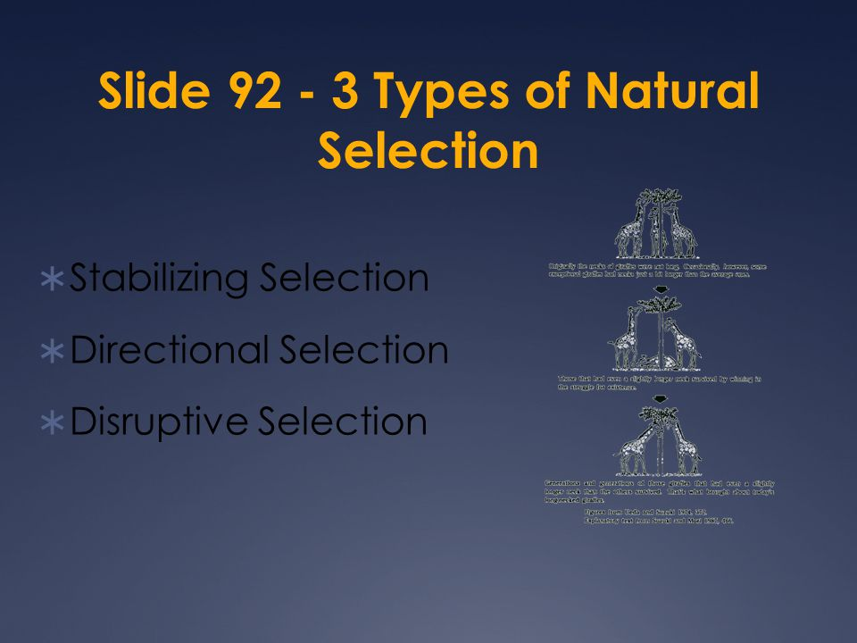 Slide 92 - 3 Types of Natural Selection  Stabilizing Selection  Directional Selection  Disruptive Selection