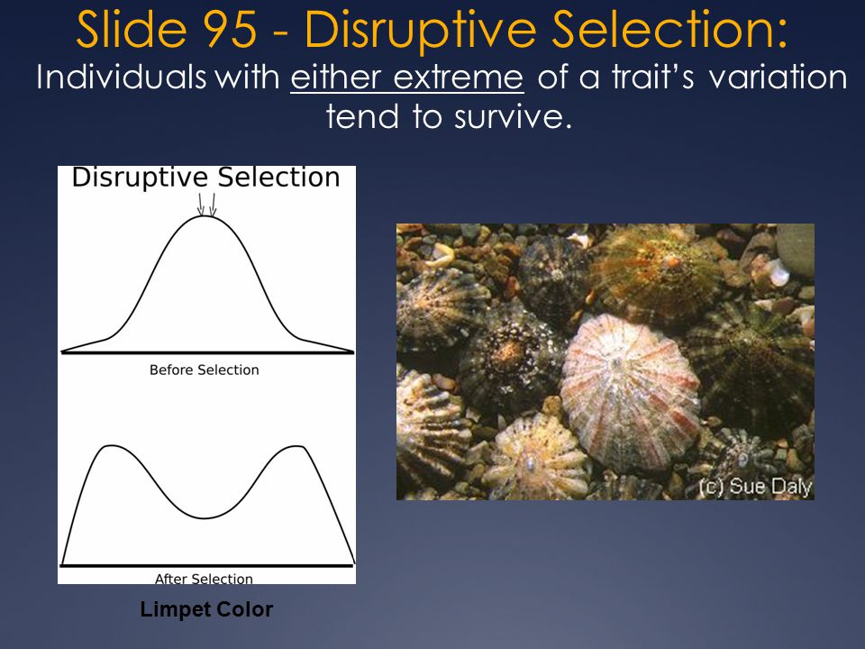 Slide 95 - Disruptive Selection: Individuals with either extreme of a trait's variation tend to survive.
