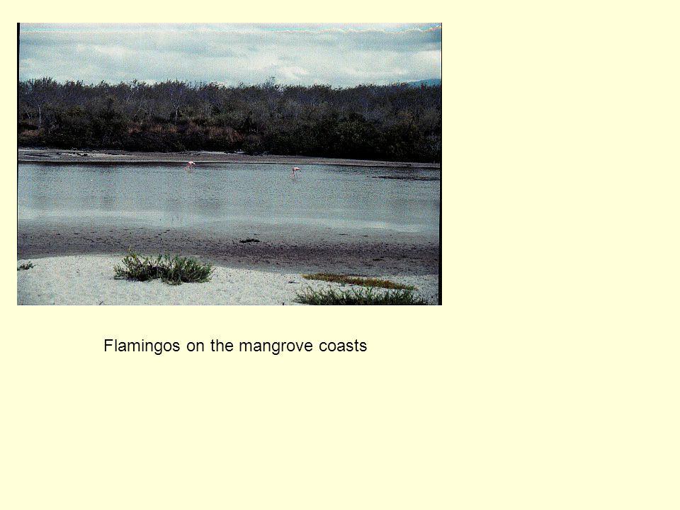 Flamingos on the mangrove coasts