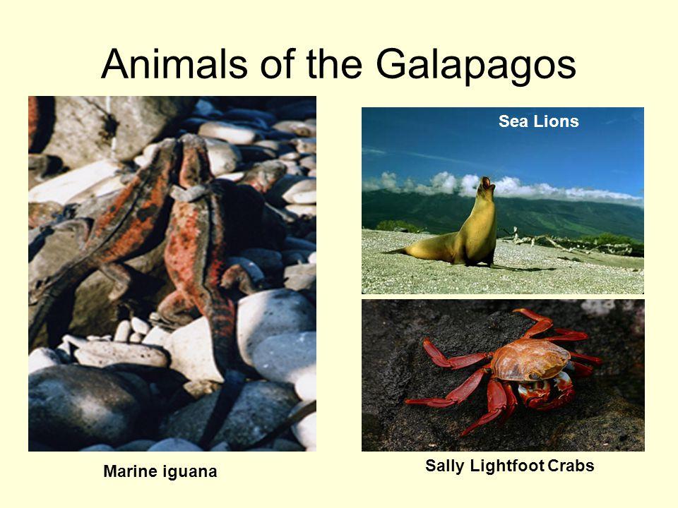 Animals of the Galapagos Marine iguana Sally Lightfoot Crabs Sea Lions