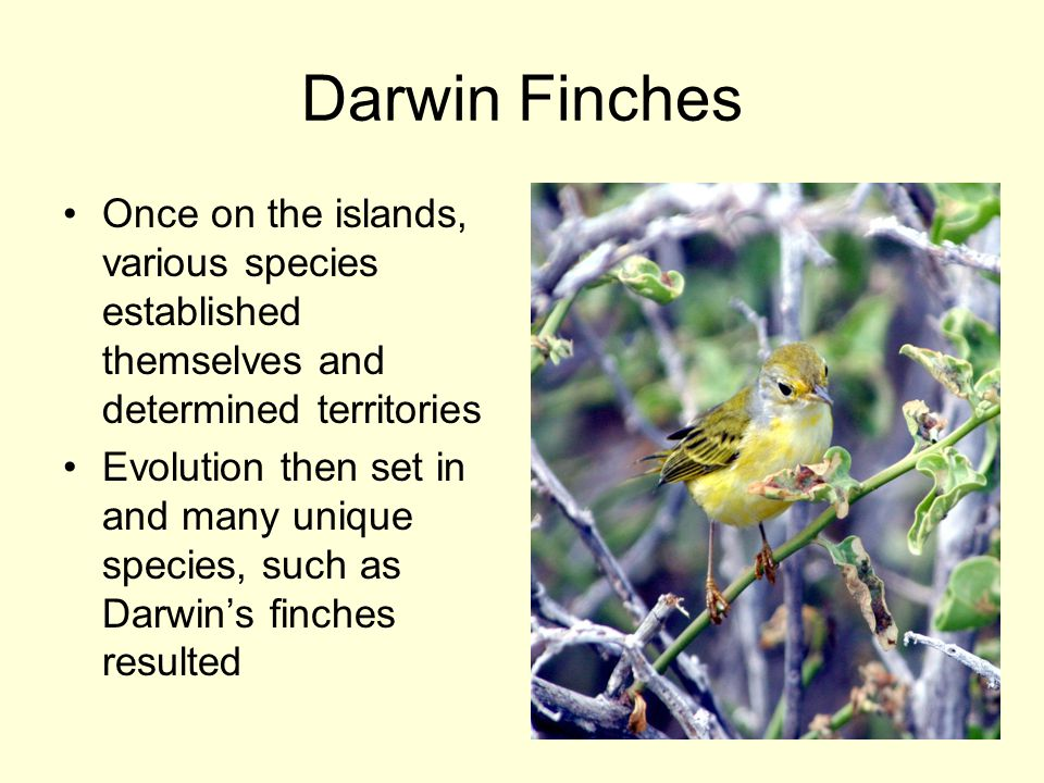 Darwin Finches Once on the islands, various species established themselves and determined territories Evolution then set in and many unique species, s