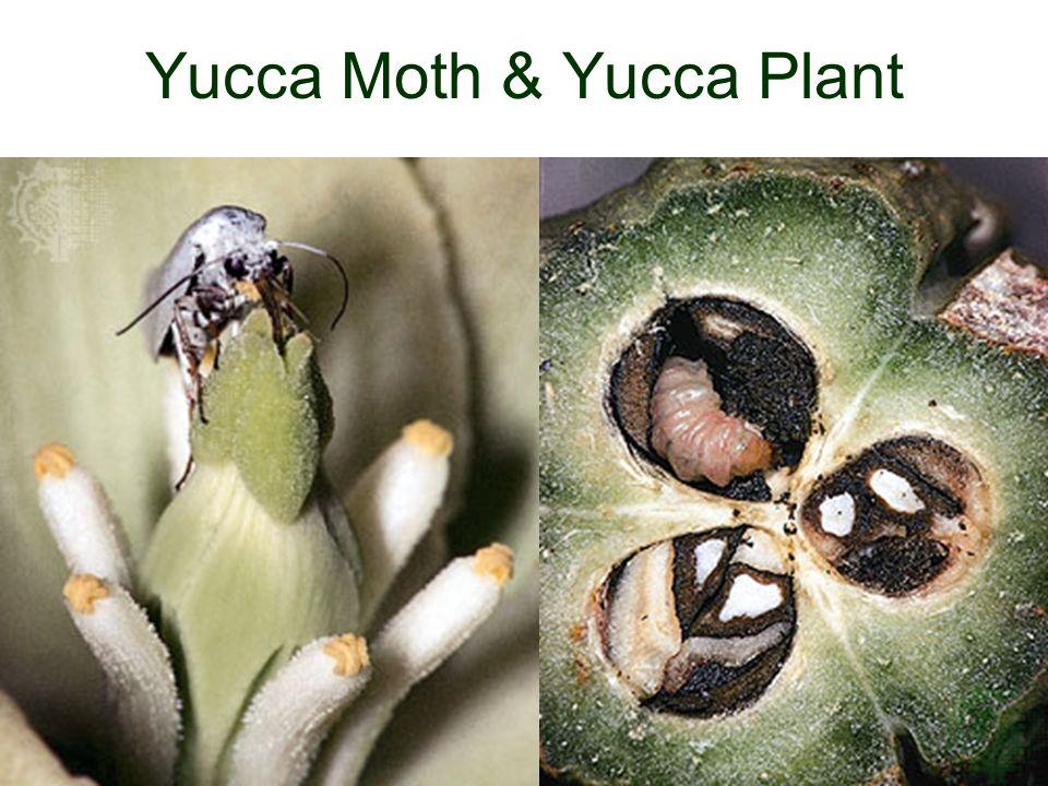 Yucca Moth & Yucca Plant